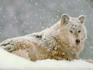 loup-blanc-neige