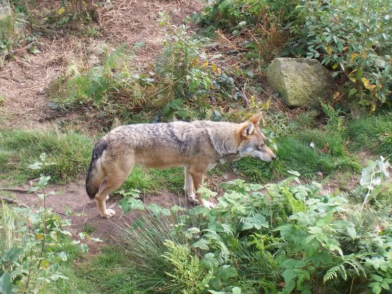 loups-chabrieres-4