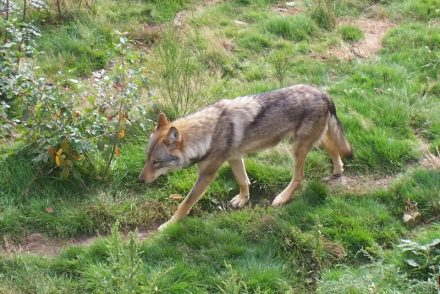 loups-chabrieres