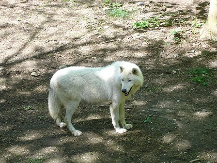 loups-orlu-1-3