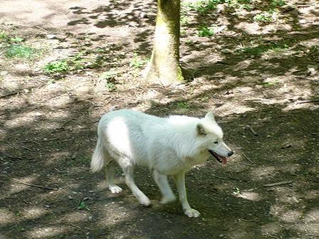 loups-orlu