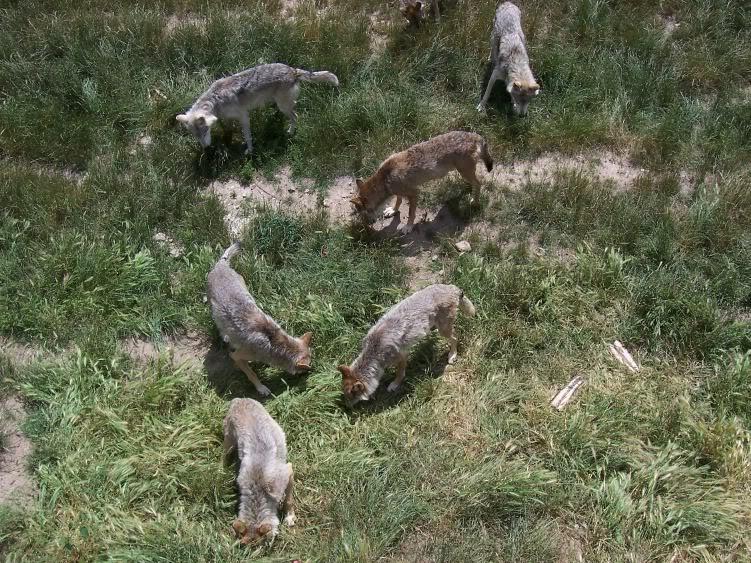 loups-gevaudan-3