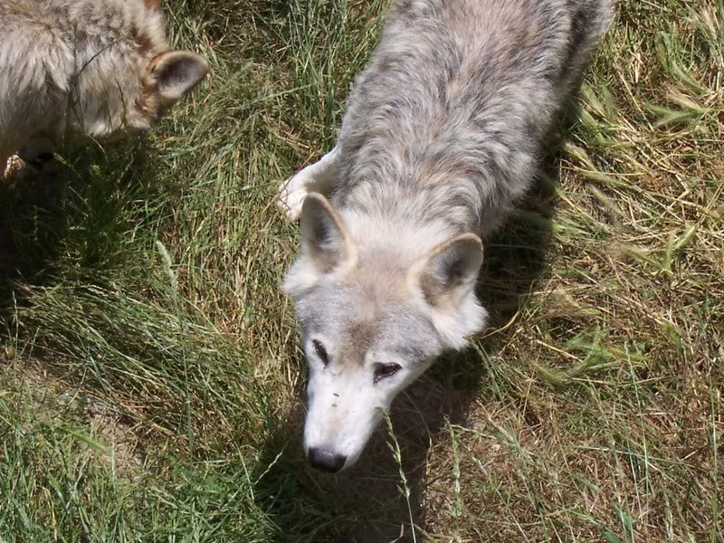 loups-gevaudan-4
