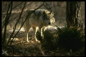 Timber-Wolf