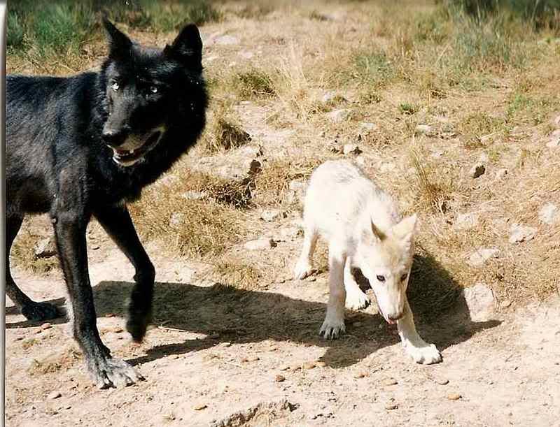 loups-gevaudan-5-3