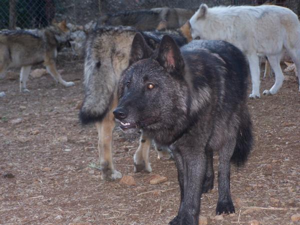 loups-castel