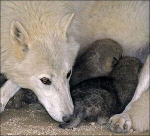 naissances-chez-loup