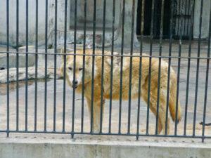 loups-echappent-zoo-prive-usa
