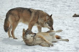 reproduction-loup