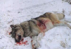 loup-mort-neige
