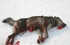 loup-mort-meurtre