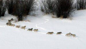 loup-queue-leu-leu