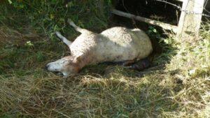 brebis-mouton-mort