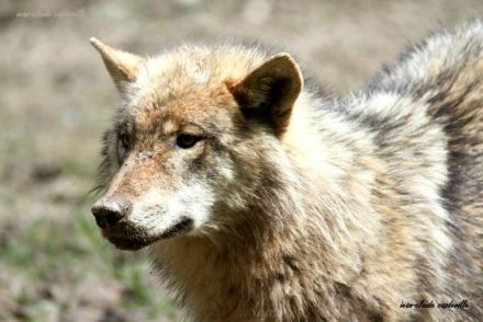 loup-canis-lupus