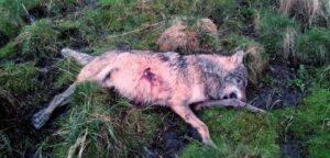 loup-mort-tir