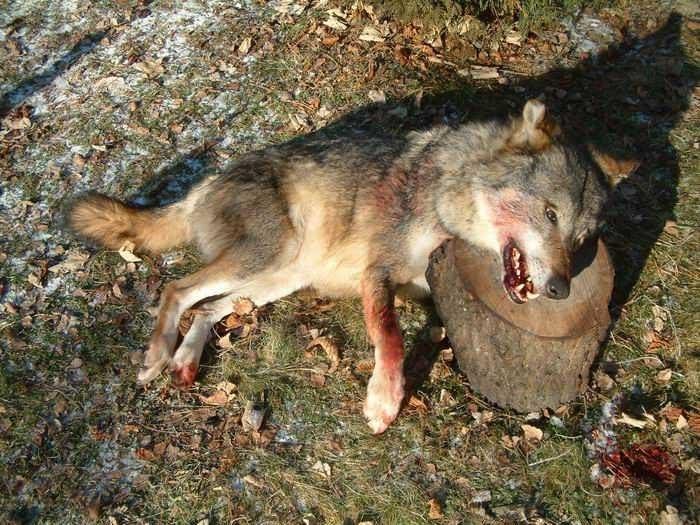 alpes-terre-sang-loup