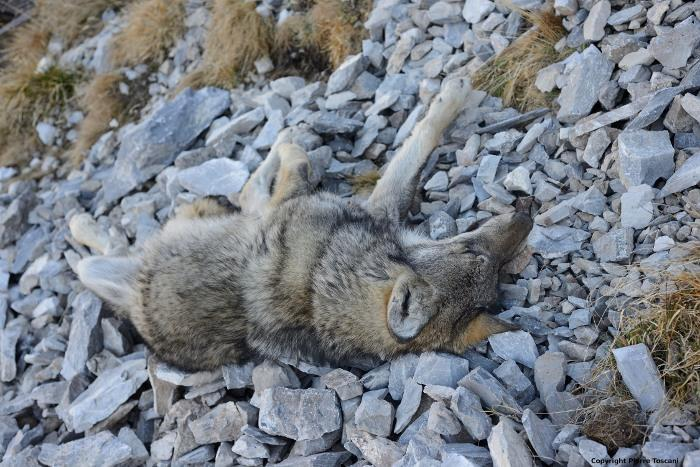 mort-naturelle-deux-loups
