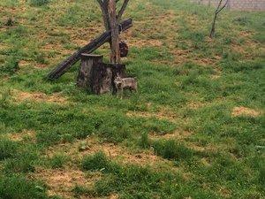 Loups (et ourse) du Refuge de l'Arche
