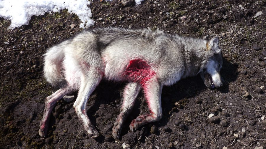 loups-abattus
