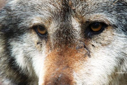 nombre-reel-loups-france