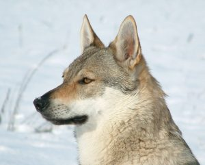 chien-loup-tcheque