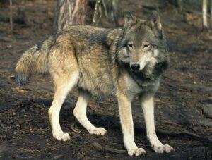 Canis-lupus-campestris