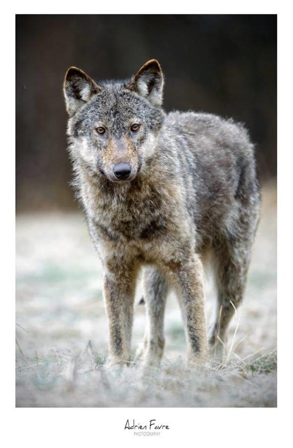 loup-gris-adrien-favre